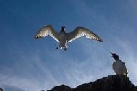 Swallow-tailed Gulls, Punto Cevallos, Espanola (Hood) Island