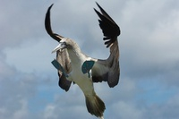 Blue-footed booby, Punto Cevallos, Espanola (Hood) Island, G