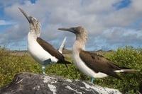 Blue-footed booby courtship, Punto Cevallos, Espanola (Hood)