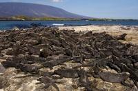 Marine Iguanas with Fernandina Volcano in the back ground, F