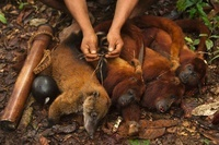 Bushmeat (South American Coati and three Red Howler monkeys)