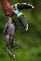 White-throated or Cuvier's Toucans killed for meat by Huaora