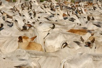 Pantanal cattle being herded, Mato Grosso do Sul Province, B
