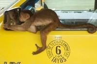 White-fronted capuchin monkey, Puerto Misahualli, Amazon rai