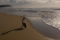 Australian pelican, North Stradbroke Island off Queensland c