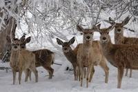 Mule deer during spring snow storm, Wyoming, USA