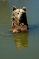 Grizzly Bear. Bear World, Wyoming, USA - Captive