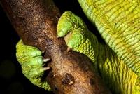 Parson's Chameleon foot gripping branch. Tropical rainforest