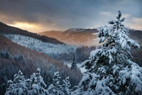 Pines laden with snow, Foyes, Inverness-shire, Scotland, Nov