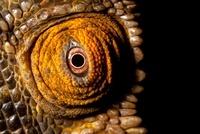 Eye of Parson's Chameleon, Madagascar