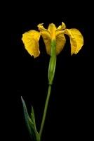 Yellow Flag Iris, Isle of Mull, Scotland. June.