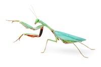 Australian Giant Rainforest Mantis female. Captive, orginati