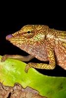 Boettger's / Blue nosed chameleon Masoala Peninsula National