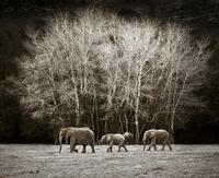 Three African elephants walking, Cabarceno, Spain