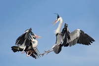 Two great blue heron fighting for the territory, Cantabria,