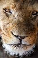 African lion portrait, South Africa
