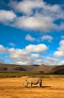 White Rhinoceros in landscape, South Africa