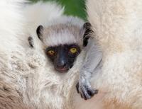 Close-up of baby Verreaux's Sifaka, Berenty National Park, Madagascar