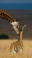 Giraffe and calf, Masai Mara National Park, Kenya