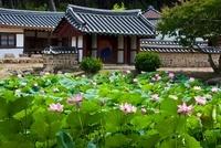 Lotus,Jongujeong,Gyeongju,Gyeongbuk,Korea 22215001922| 写真素材・ストックフォト・画像・イラスト素材|アマナイメージズ