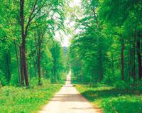 タンポポ咲く森の道