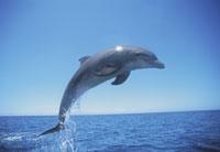 海を跳ねるイルカ