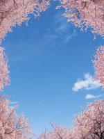 桜 22257002285| 写真素材・ストックフォト・画像・イラスト素材|アマナイメージズ