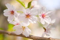 満開の桜アップ