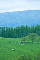 緑の牧場に放牧された牛