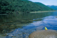 四万十川と石の上のアマガエル