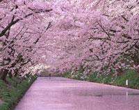 弘前城のお堀の桜