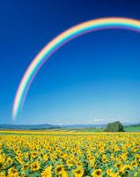 ヒマワリ畑と虹
