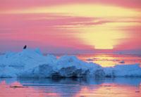 オオワシと朝日と流氷
