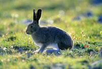 北極圏のユキウサギ