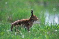 草原のエゾユキウサギ