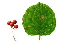 サルトリイバラの実 葉