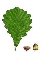 ドングリ カシワの葉と実
