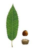 ドングリ クヌギの葉と実 22276006571| 写真素材・ストックフォト・画像・イラスト素材|アマナイメージズ