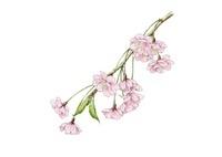 八重紅枝垂桜 ヤエベニシダレ