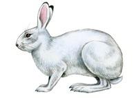 ノウサギ 22276006759| 写真素材・ストックフォト・画像・イラスト素材|アマナイメージズ