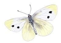 モンシロチョウ 蝶