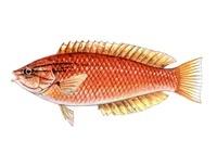 ササノハベラ 海水魚