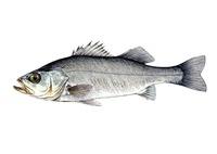 スズキ 海水魚