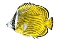チョウチョウウオ 海水魚