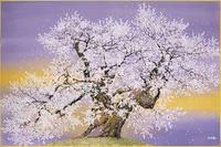 中曽根の権現桜 桜吹雪