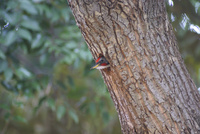 巣穴から顔を出すアオゲラのオス