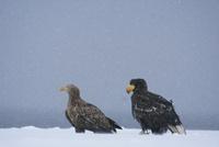 オオワシの若鳥とオジロワシ