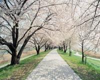 淀川沿いの桜並木