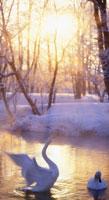 ハクチョウのはばたきと釧路川 22320007055  写真素材・ストックフォト・画像・イラスト素材 アマナイメージズ