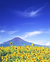 ヒマワリ畑と富士山